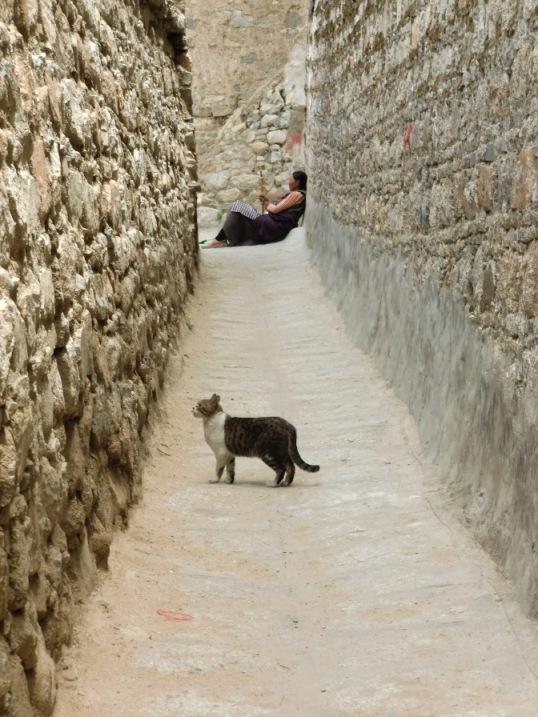 デプン寺の彷徨う猫