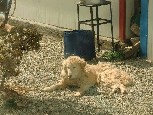 ナムツォ湖畔のモコモコ犬