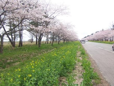 大潟村桜並木