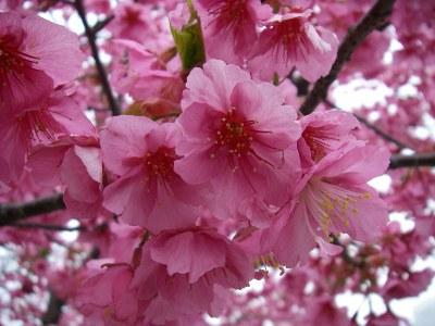 木場公園近くの河津桜