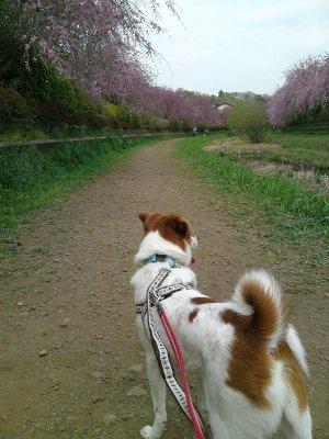 ニコくんと桜