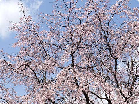 府庁 しだれ桜