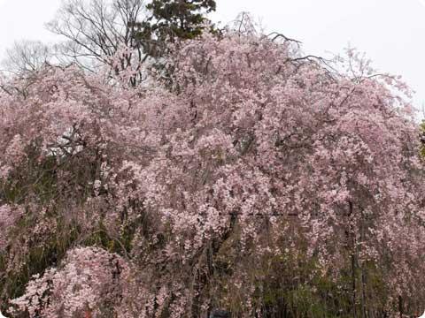 上賀茂神社 しだれ桜
