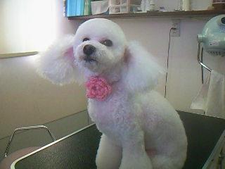 真っ白な被毛にピンクがとってもお似合い♡