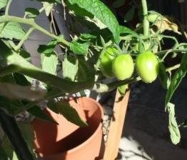 ミニトマト0126