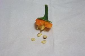 カラーピーマンオレンジの種
