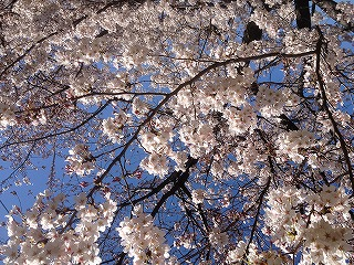 20120407-桜02