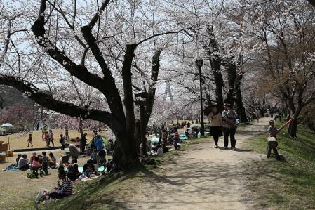 水源公園 桜はちょいと密度が薄い