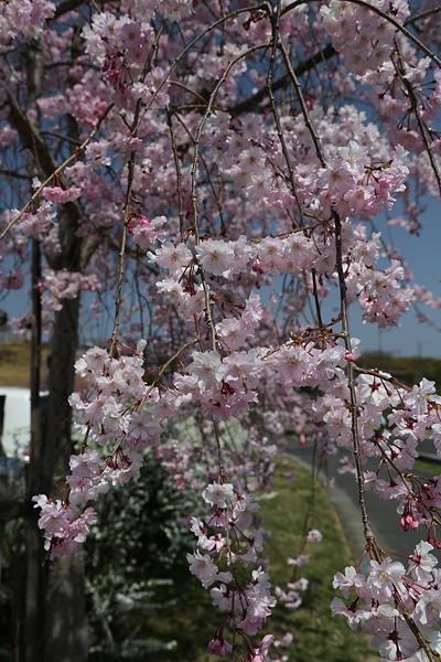 水源公園 しだれ桜は来週が見ごろだな