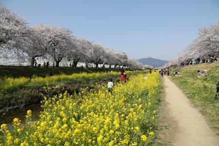 佐奈川 桜と菜の花のコントラストが良い