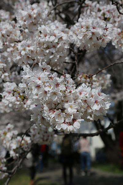 佐奈川 一つ一つの桜の花の密度が濃い