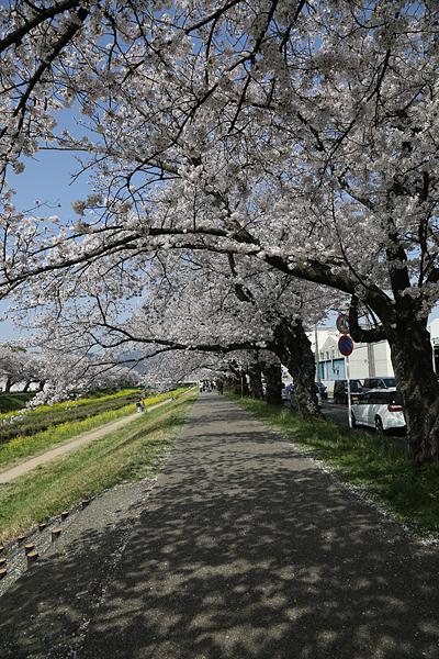 佐奈川 青空の下 桜のトンネルを行く