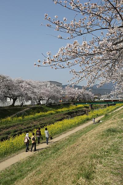 佐奈川 青空と桜と菜の花と