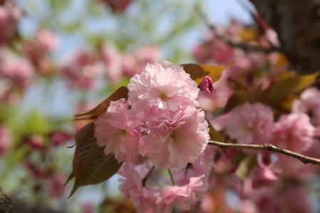 こちらは今が旬。牡丹桜