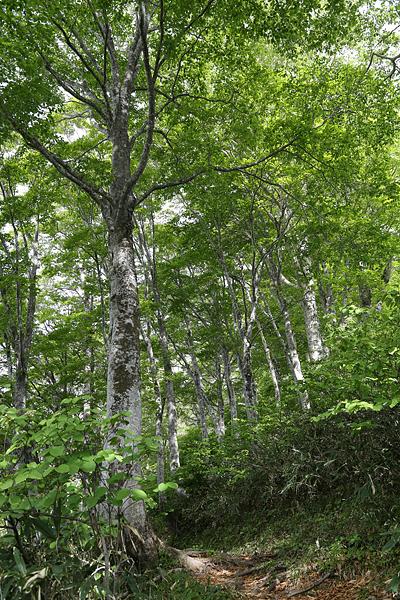 ブナの森を行く