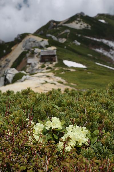 キバナシャクナゲは小屋手前から山頂付近が見ごろ