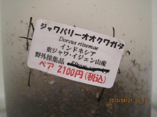 IMG_6390_むし社ジャワパリー
