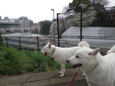 2012.4.11 北の丸公園・お堀の両側のさくら