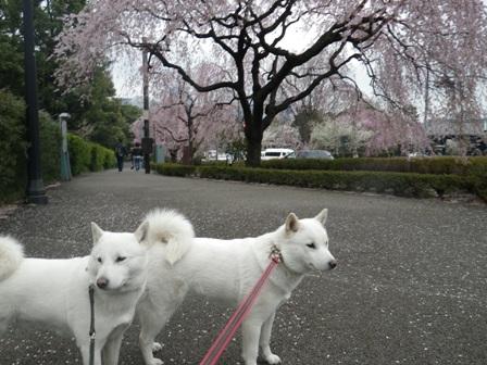 2012.4.11 皇居前・しだれ桜と