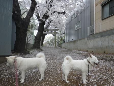 2012.4.10 神社のさくら