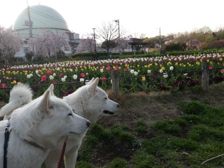 2012.4.12 芦花公園・コヒガン桜&チューリップ