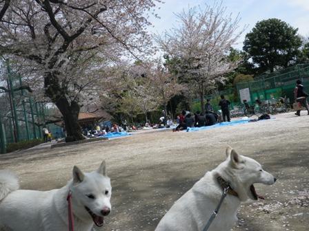 2012.4.15 お花見