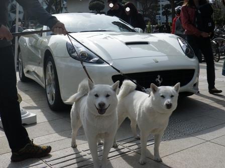 2012.4.15 白いフェラーリと白い犬