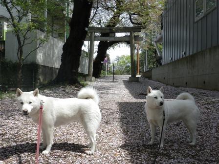 2012.4.15 神社のさくら