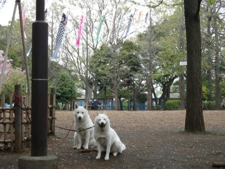 2012.4.17 こいのぼり