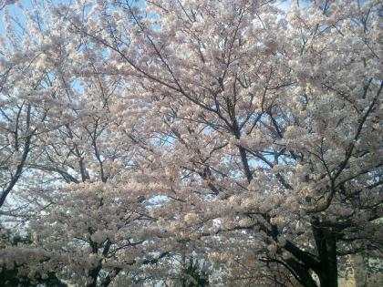 宇部の桜 (9)