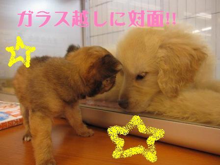 19日 ブログ チワ&ゴールデン