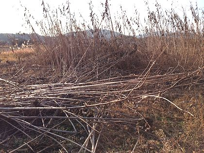 2013キクイモ収穫1砂川ー2