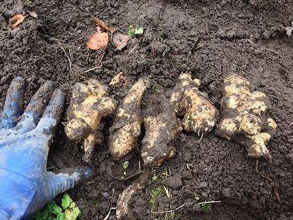 2013キクイモ収穫2阿久津2
