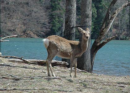 赤沼野生鹿