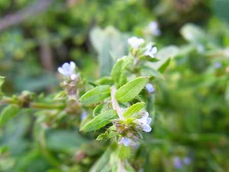 Lappula myosotis(ムラサキ科ノムラサキ属)
