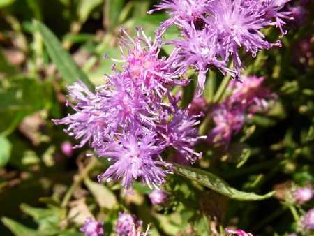 Saussurea amara(キク科トウヒレン属)2