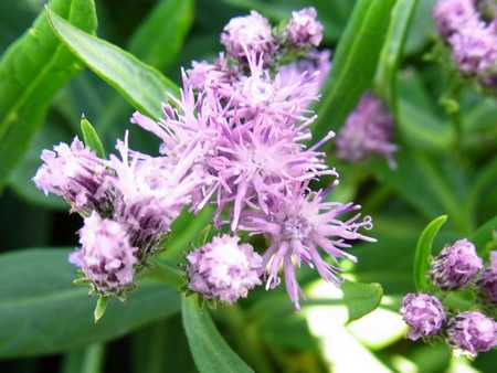 Saussurea amara(キク科トウヒレン属)3