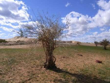 Salix sp.(ヤナギ科)