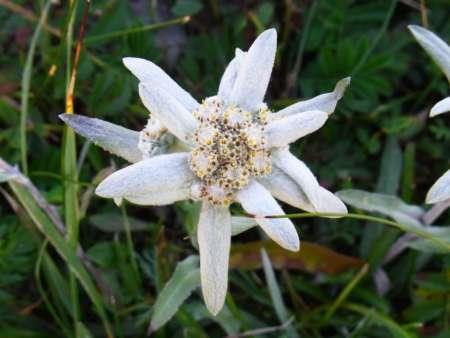 Leontopodium ochroleucum(キク科ウスユキソウ属)