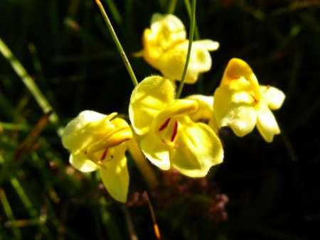 pedicularis flava(ゴマノハグサ科シオガマギク属)