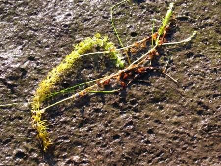 Utricularia sp.(タヌキモ科)
