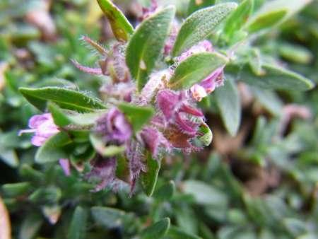 Thymus gobicus( シソ科イブキジャコウソウ属.)