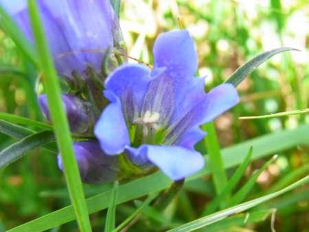 Gentiana decumbens(リンドウ科)