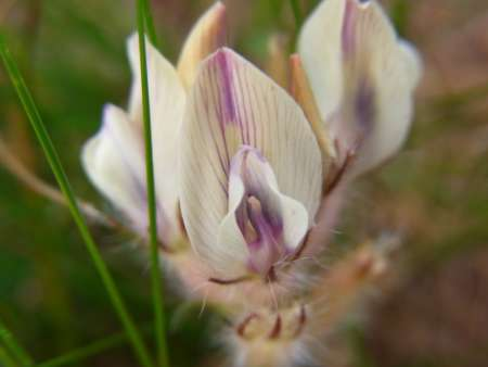 Astragalus galactites(マメ科レンゲ属)