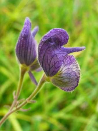 Aconitum sp.(キンポウゲ科トリカブト属)
