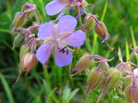 Geranium pratense(フウロソウ科)