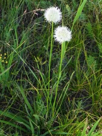 Allium leucocephalum(ユリ科ネギ属)