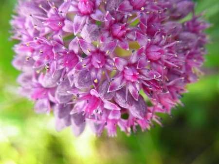 Sedum purpureum(ベンケイソウ科セダム属)