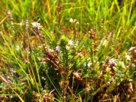 Euphrasia  tatarica(ゴマノハグサ科 コゴメグサ属)
