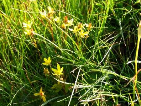 Haplophyllum dauricum(ミカン科)